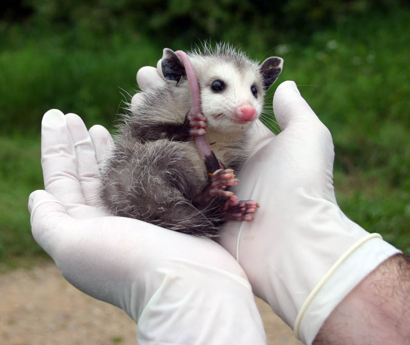 A student holds a young opossum while checking for ticks.