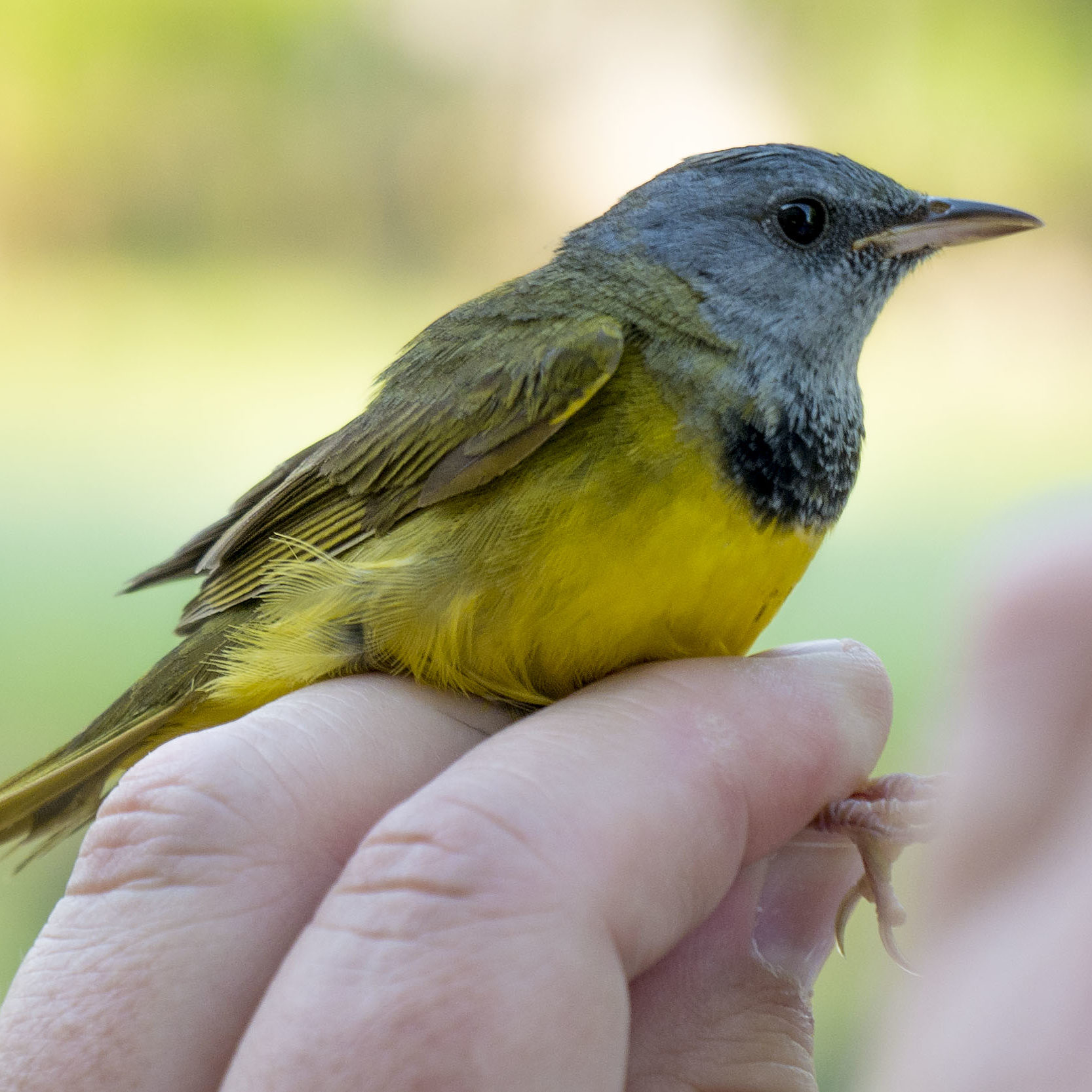 A bird is captured for banding at Seven Islands State Birding Park.