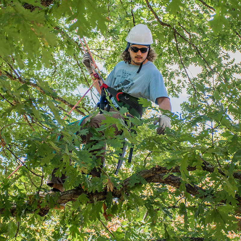 An urban forester inspects the health of a large oak tree.