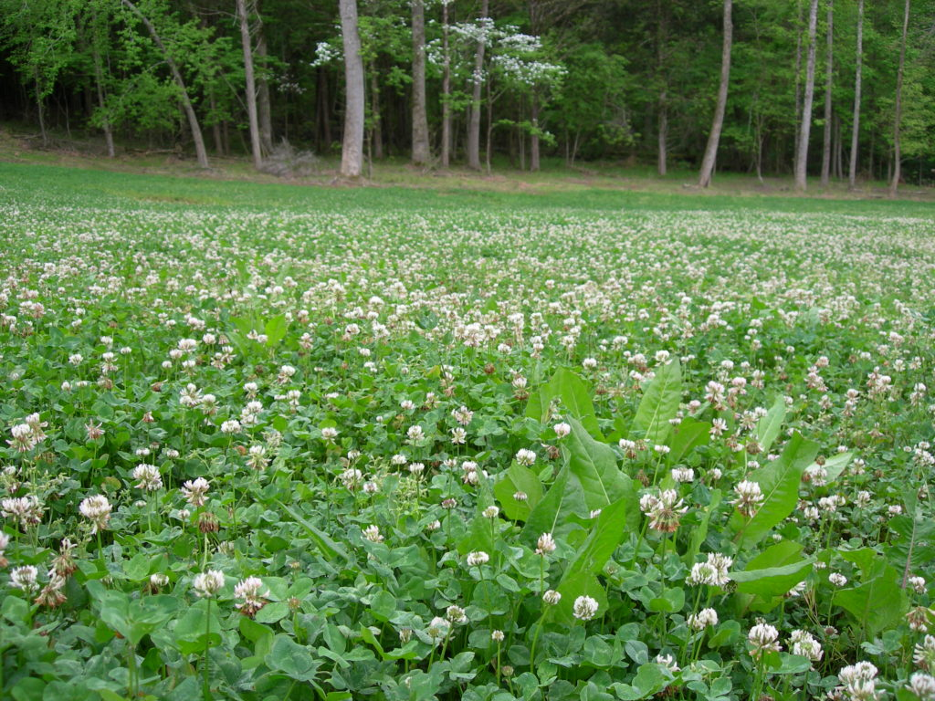 A field full of clover is managed as a food plot for deer.