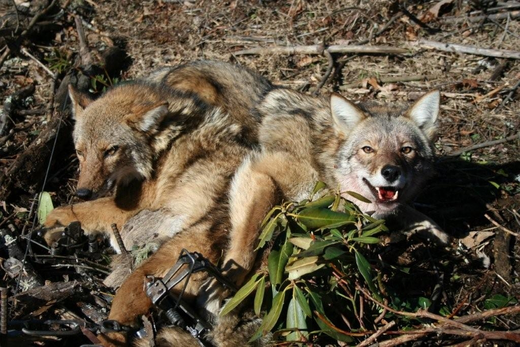 Coyotes lay trapped in snares.