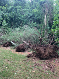Uprooted pine trees following heavy, saturating rains.