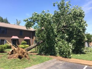 Uprooted Tulip Poplar that fell against a condominium.