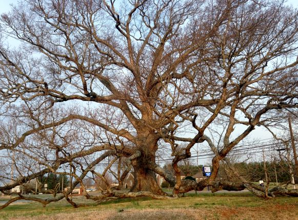 A large, old tree shows it structure during dormant months.