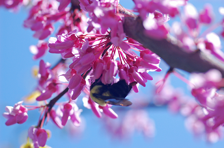 Eastern redbud blooms indicate the beginning of spring and bloom from late March to mid-April.