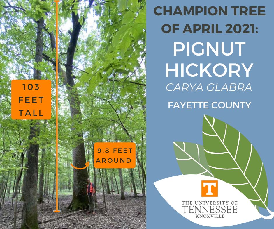 Champion Tree, April 2021, pignut hickory measuring 103 feet tall and 9.8 feet around.