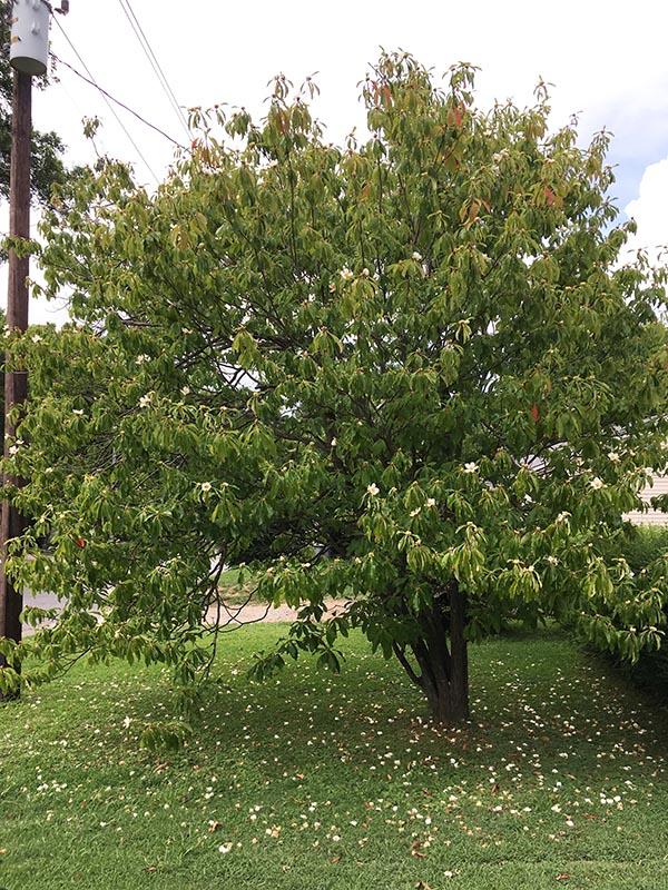 image for Ben Franklin Tree