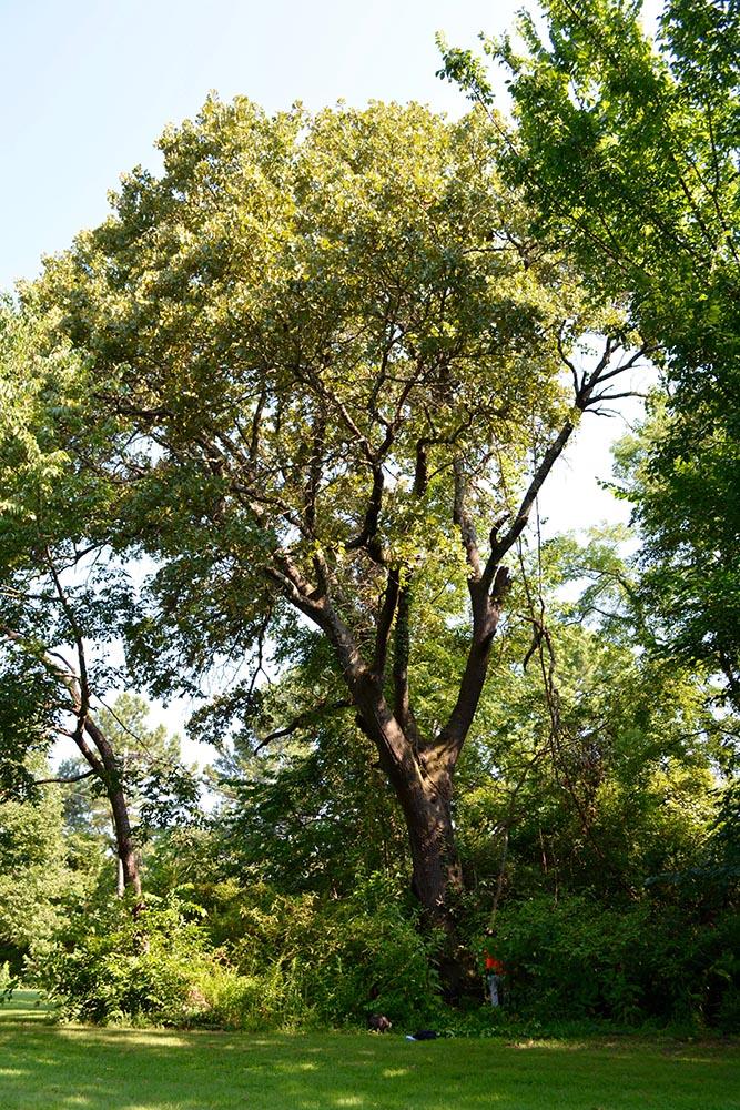 image for Blackjack Oak