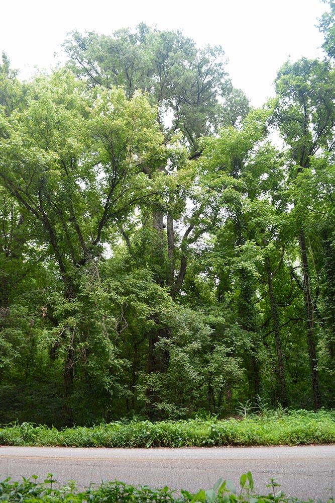 image for Cedar Elm