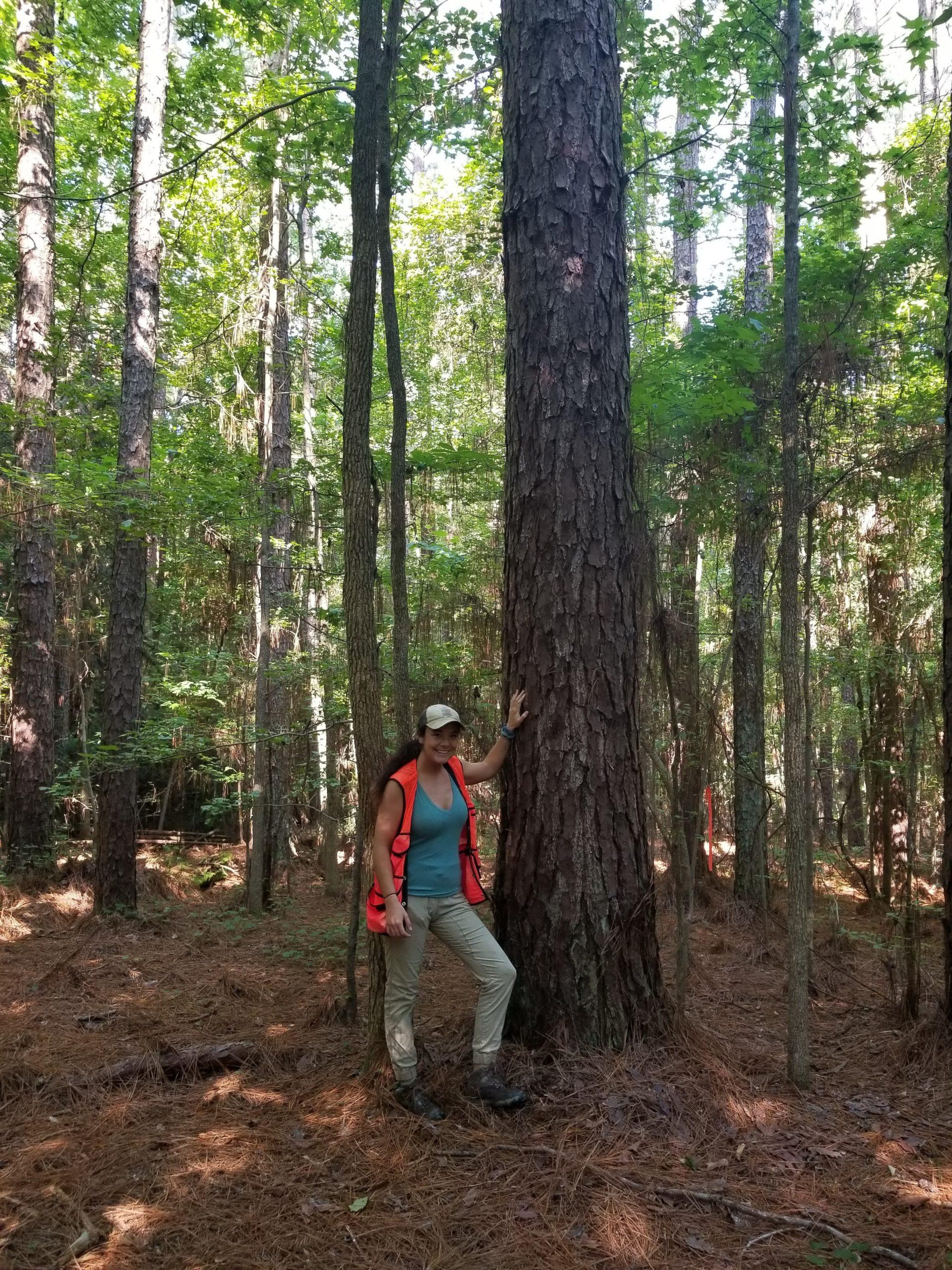 image for Longleaf Pine