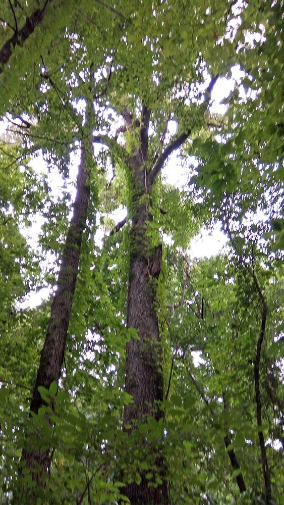 image for Nuttall Oak