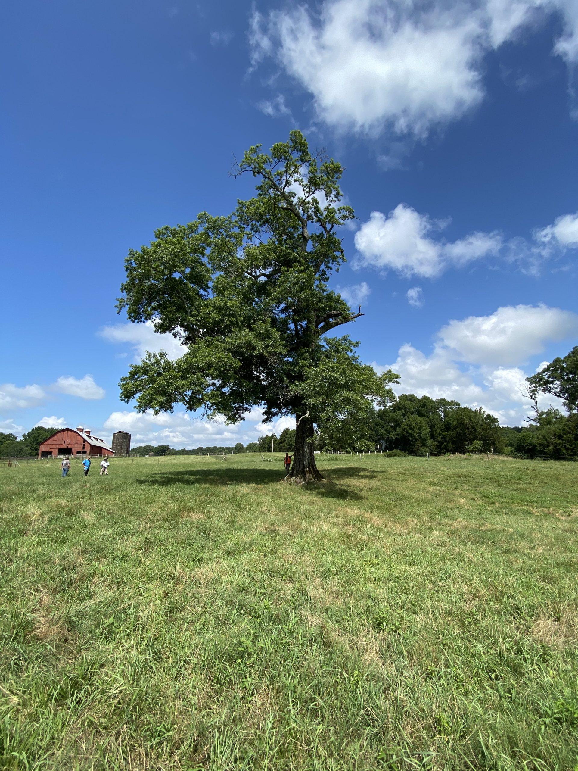 image for Pin Oak