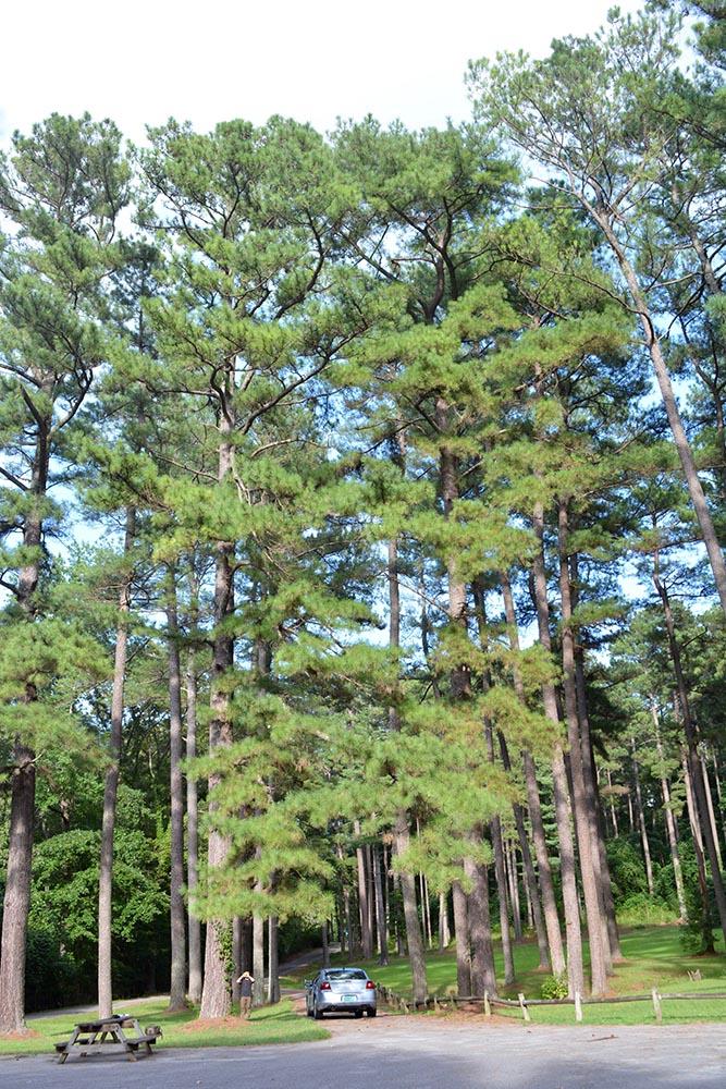 image for Slash Pine