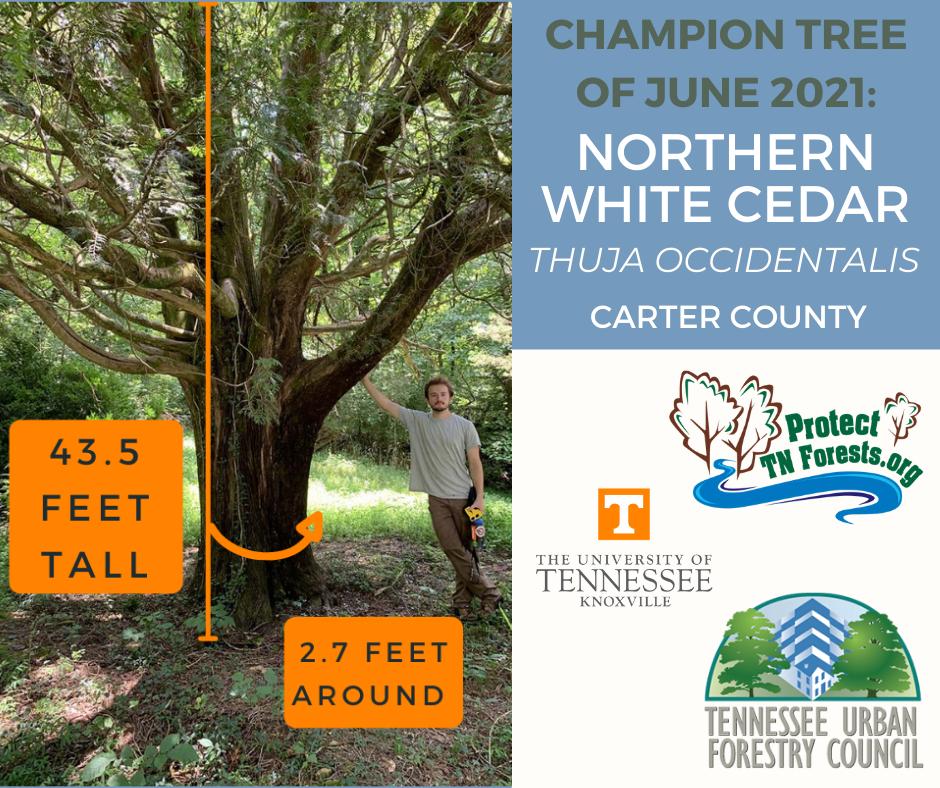 Champion tree of the month, June 2021: Northern white cedar, 43.5 feet tall, 2.7 feet around.