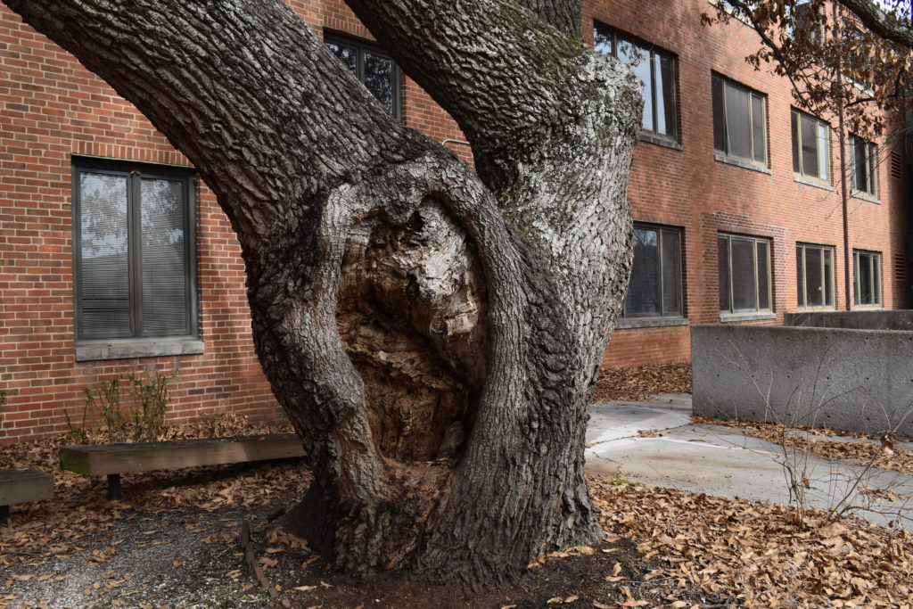 Very large pruning cuts or tears from limb losses may never fully compartmentalize (i.e., close), leaving behind an open cavity.