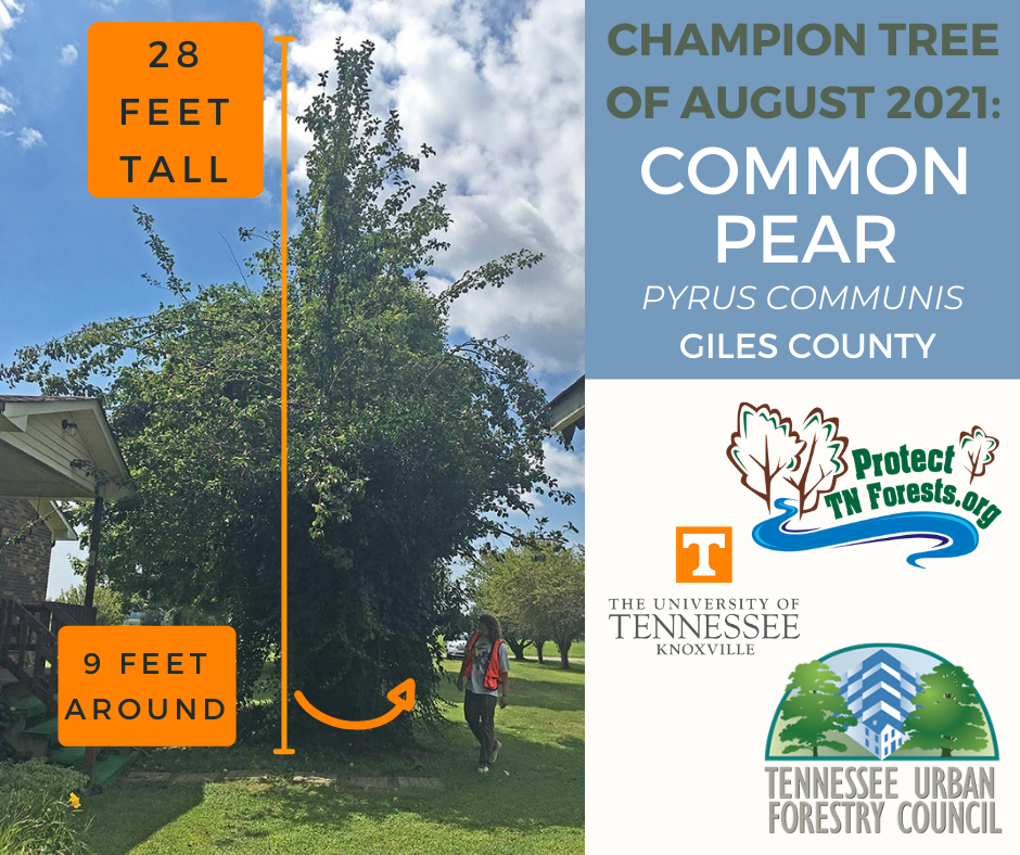 Champion tree of the month, August 2021: common pear, 28 feet tall, 9 feet around.