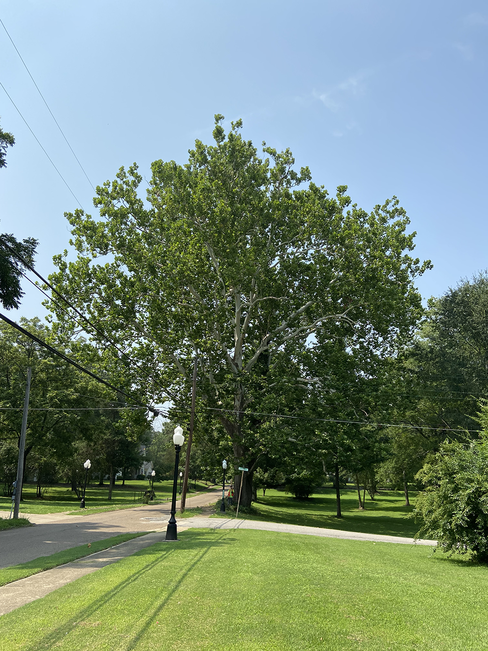 image for American Sycamore