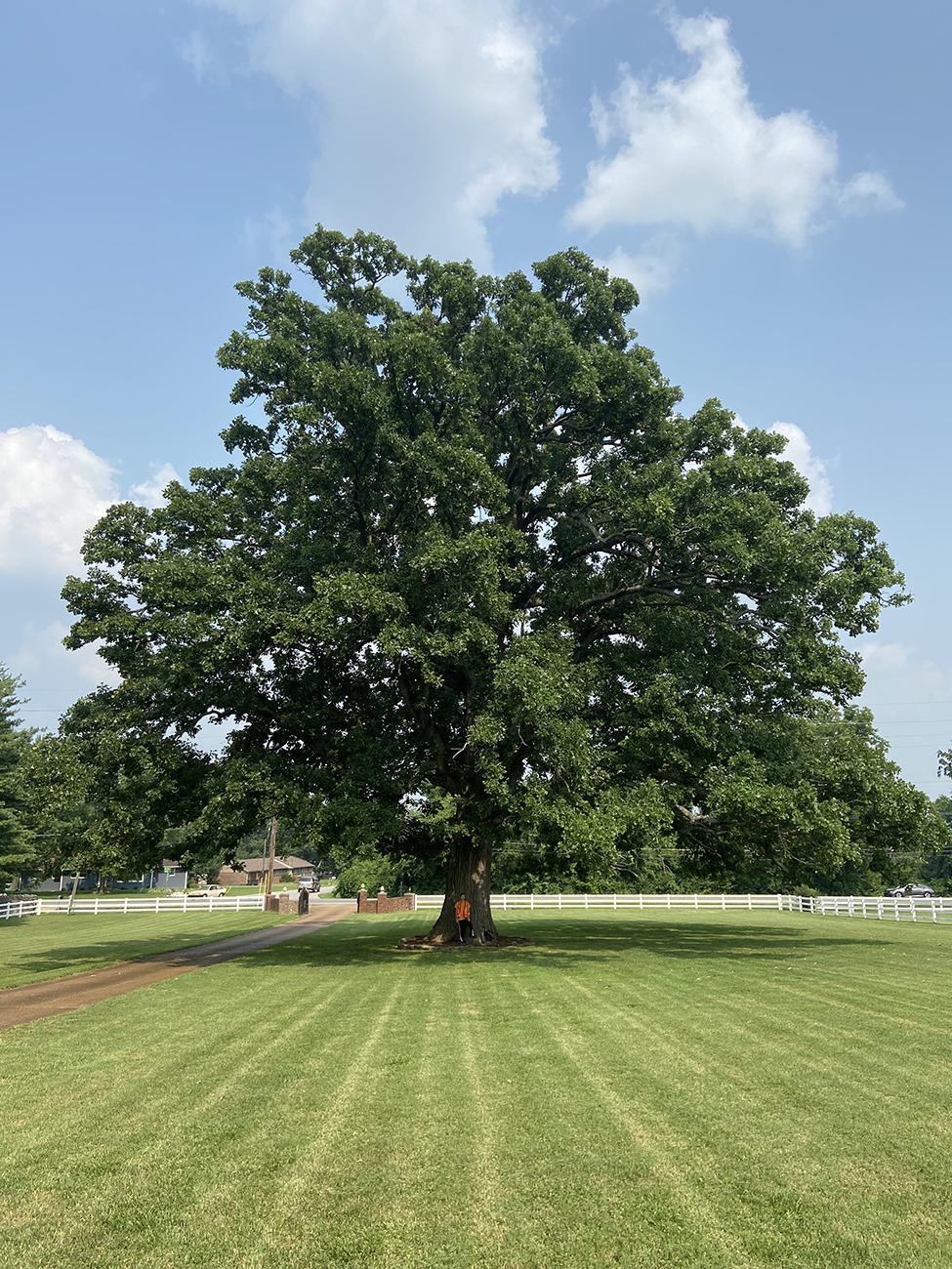 image for Bur Oak