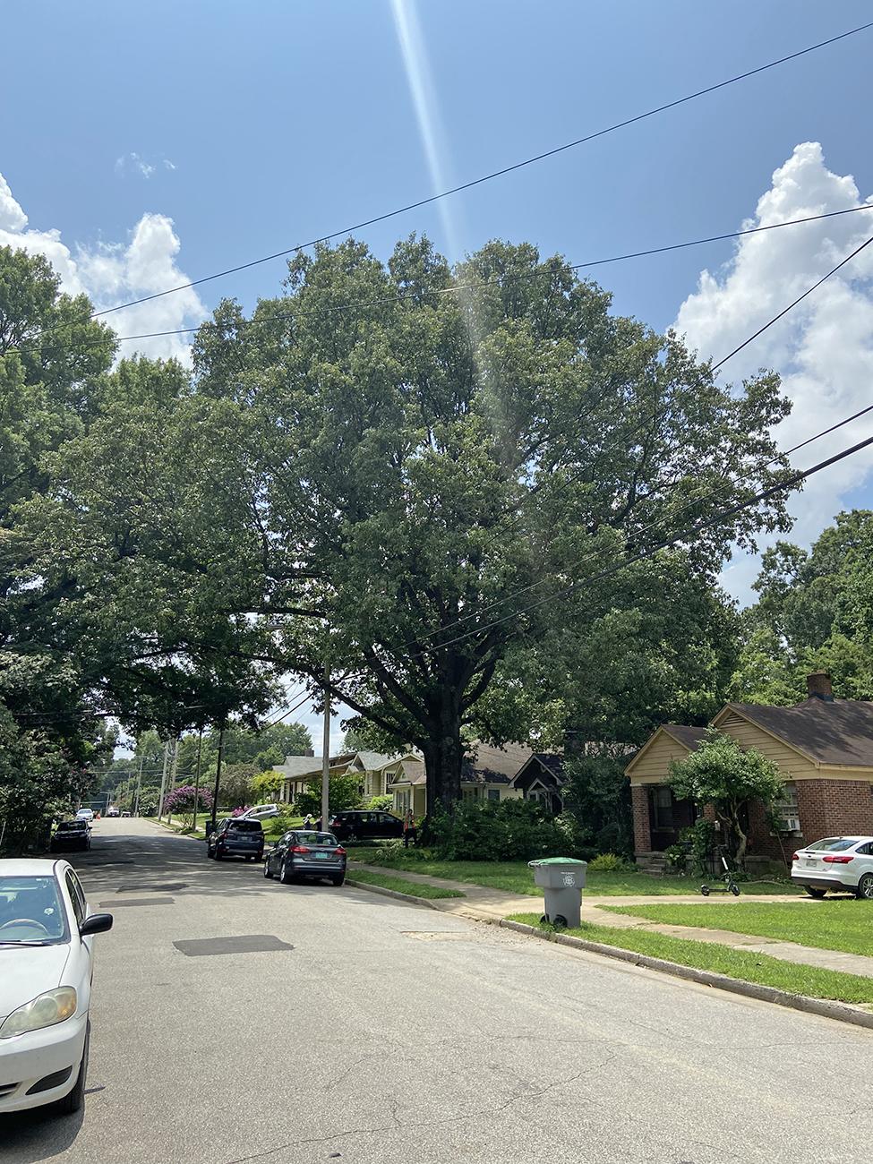 image for Cherrybark Oak