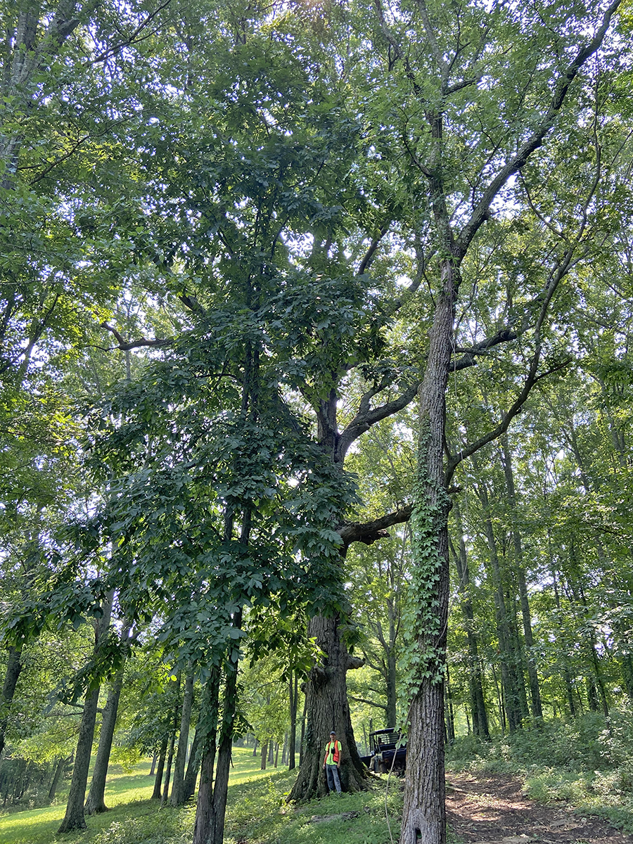 image for Northern Red Oak