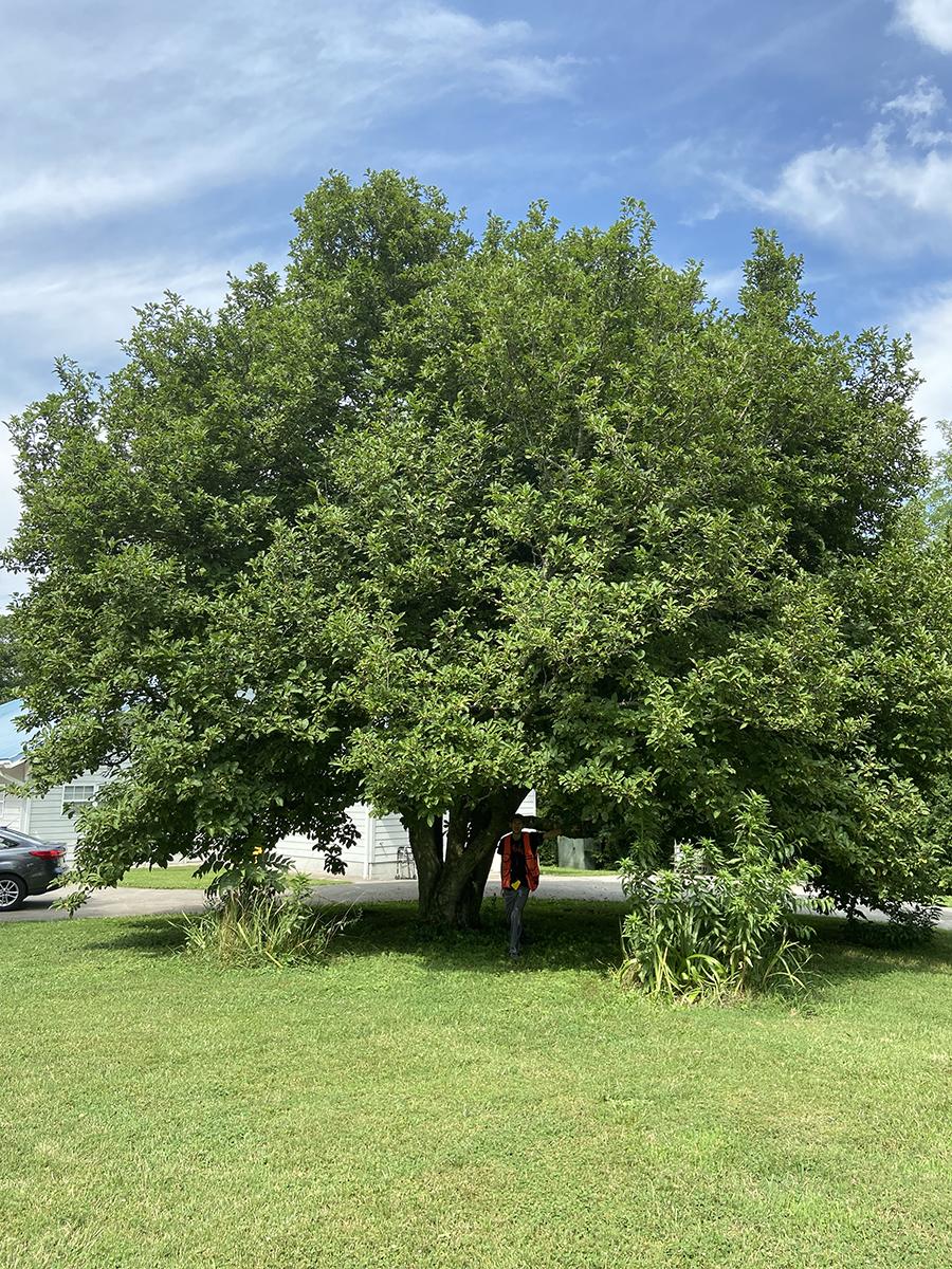 image for Saucer Magnolia