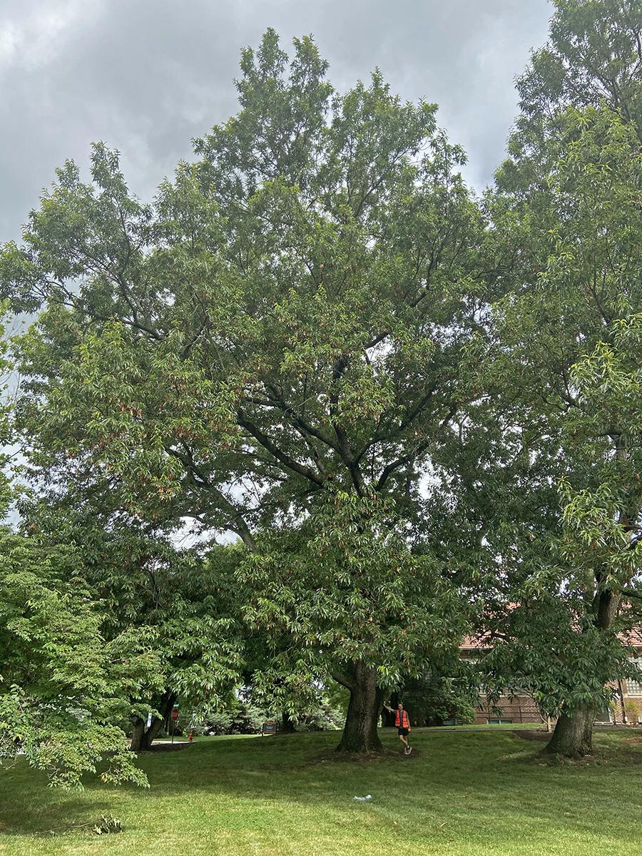 image for Sawtooth Oak