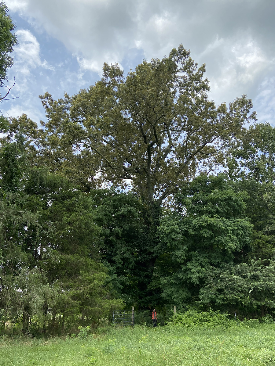 image for Southern Red Oak
