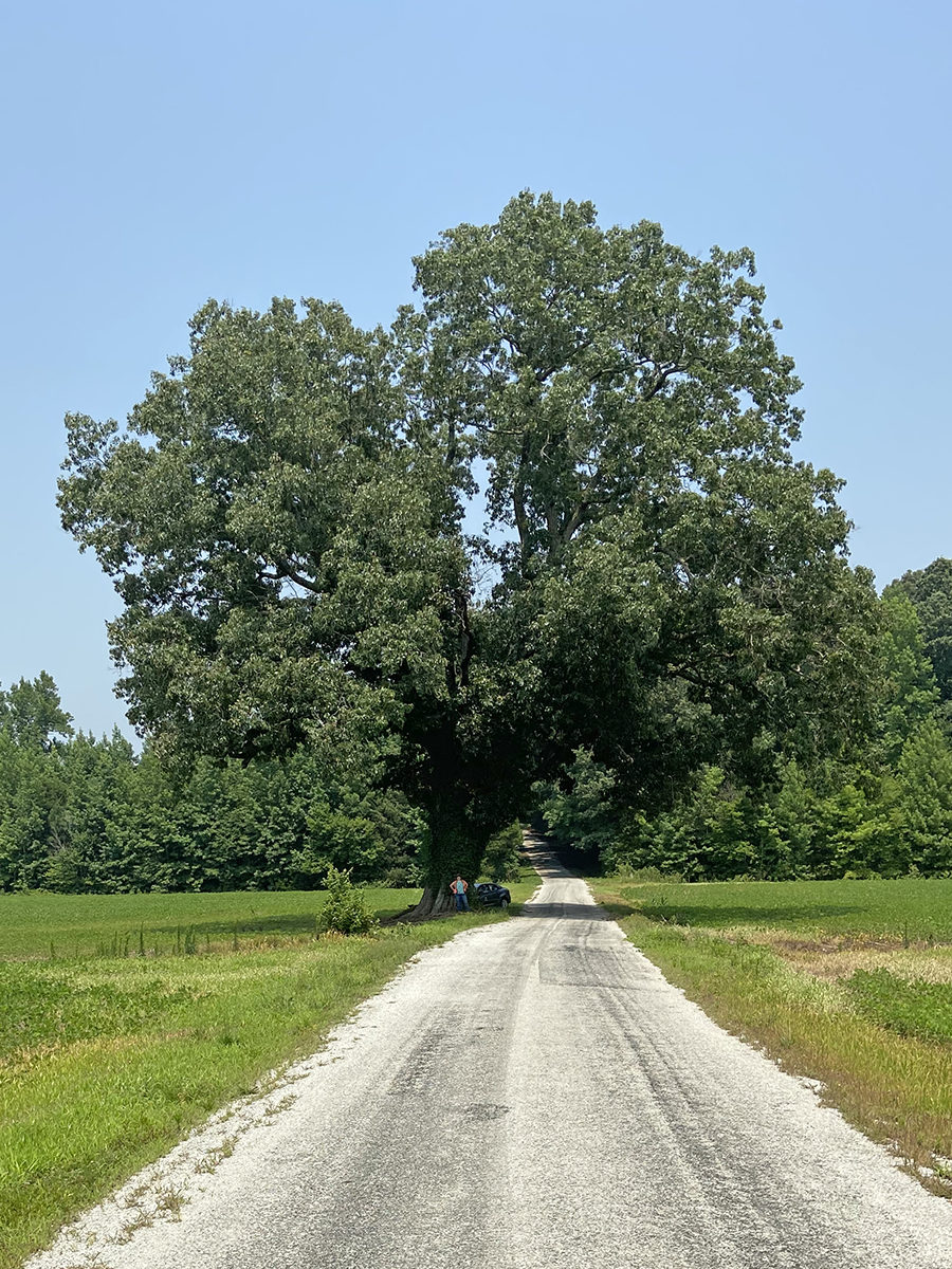 image for Swamp Red Oak