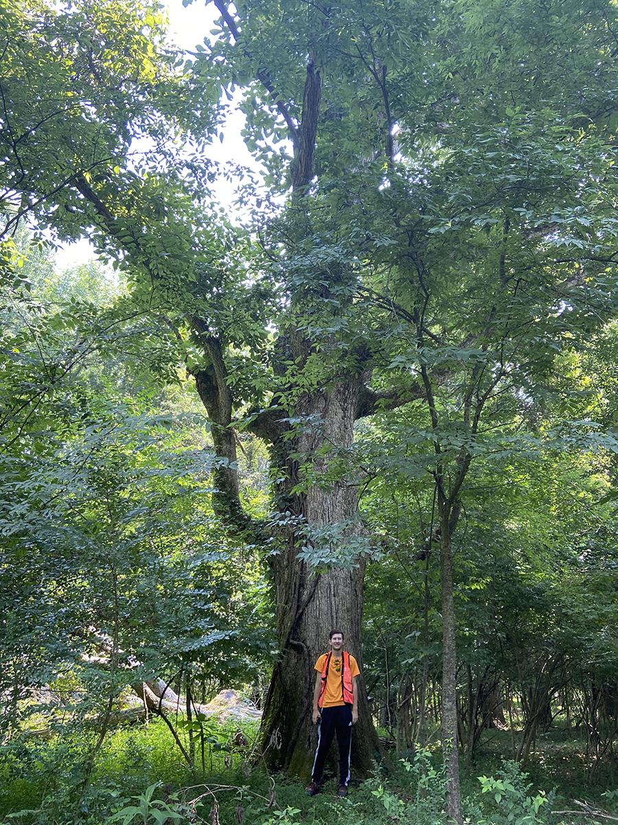 image for Swamp White Oak