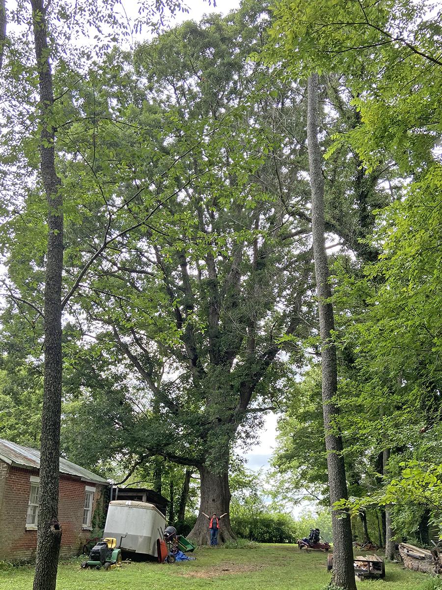 image for White Oak