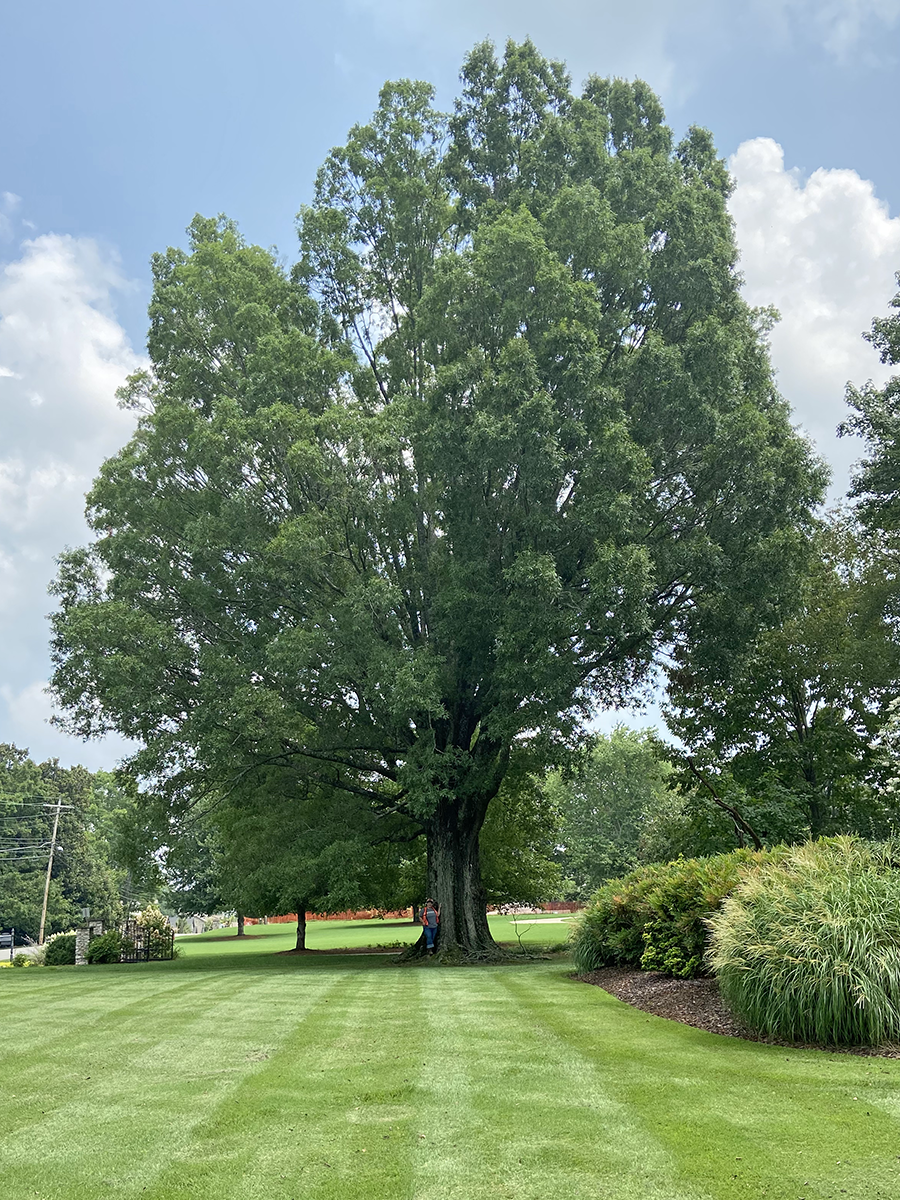 image for Willow Oak